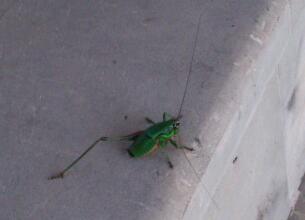enbent gräshoppa